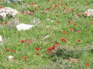 Los campos palestinos en primavera anuncian la resurrección