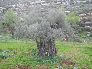 árbol de olivo milenario en Yanoun