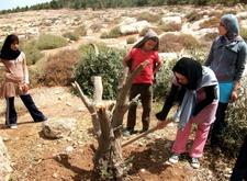 Pobladores restaurando olivos cortados por los colonos israelíes (CPT)