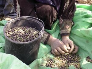 Cosecha de olivos en Al-Tuwani (CPT)