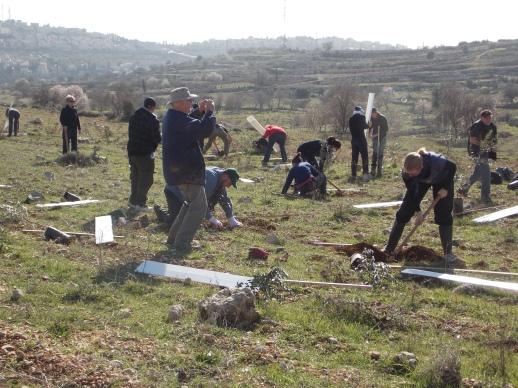 Delegación internacional del programa JAI-ACJ plantando olivos en Al-Khader (Belén, 2013)