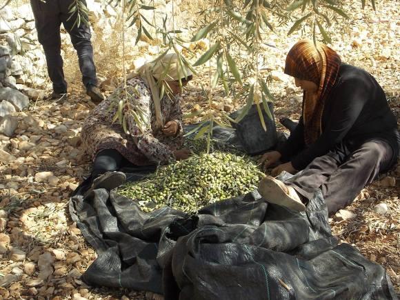 mujeres-cosechando-en-kifl-hares-salfit