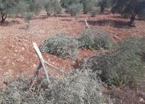Olivos palestinos cortados por los colonos judíos en A-Sawiyah, Nablus (17/9/20, Odeh al Khatib).